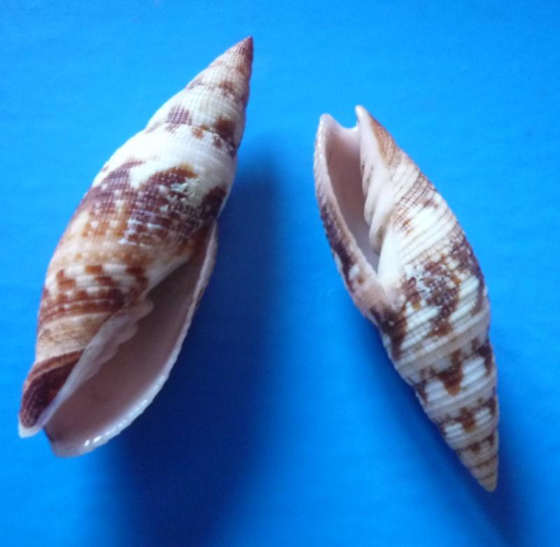 Neocancilla maculosa - (Gmelin, 1791) Clatru11