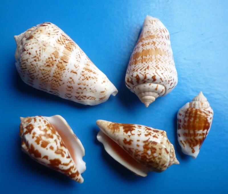 Conomurex decorus - (Röding, 1798) Conomu14