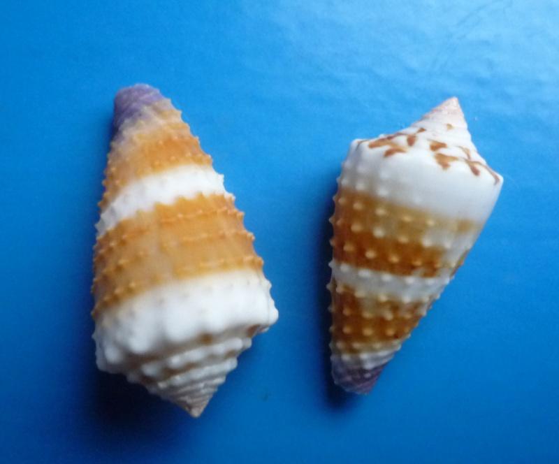 Conus (Lividoconus) floridulus  Adams & Reeve, 1848 Conus_18