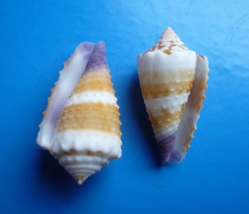 Conus (Lividoconus) floridulus  Adams & Reeve, 1848 Conus_19