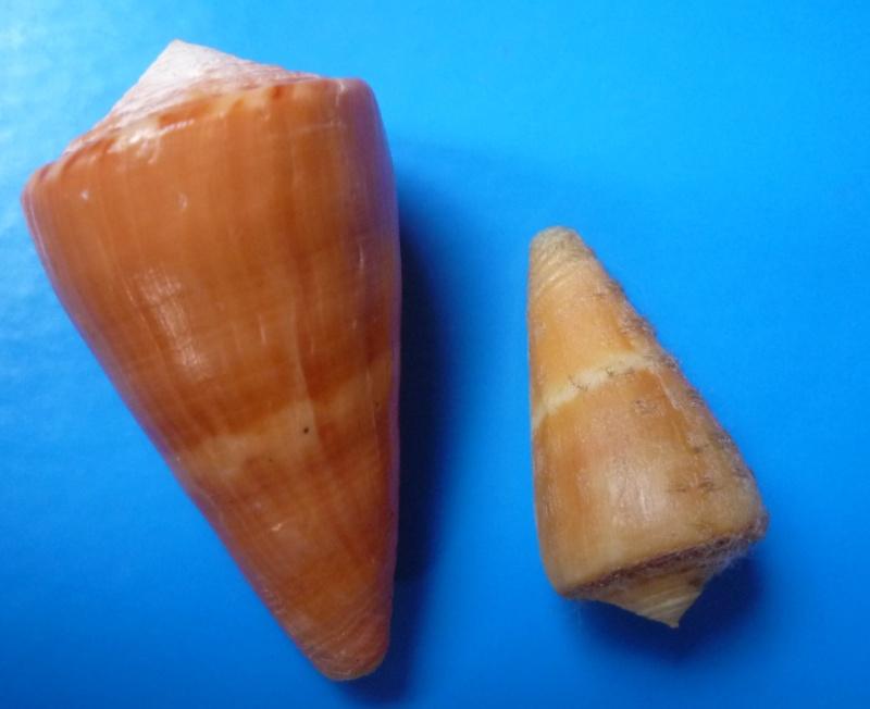 Conus (Dauciconus) daucus  Hwass in Bruguière, 1792 Conus_31