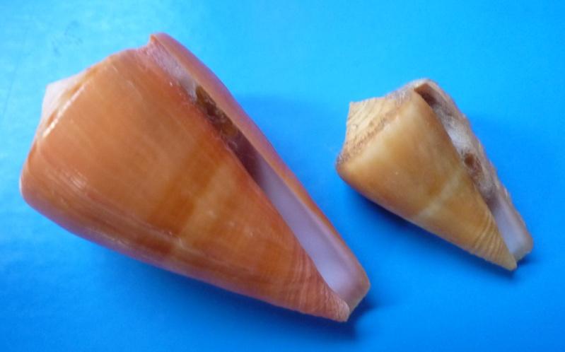 Conus (Dauciconus) daucus  Hwass in Bruguière, 1792 Conus_32