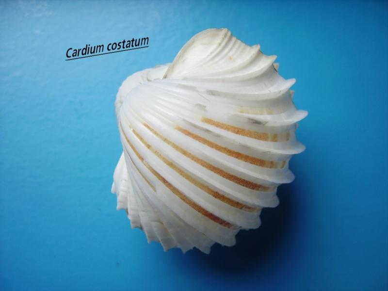 Cardium costatum - Linnaeus, 1758  Costat10