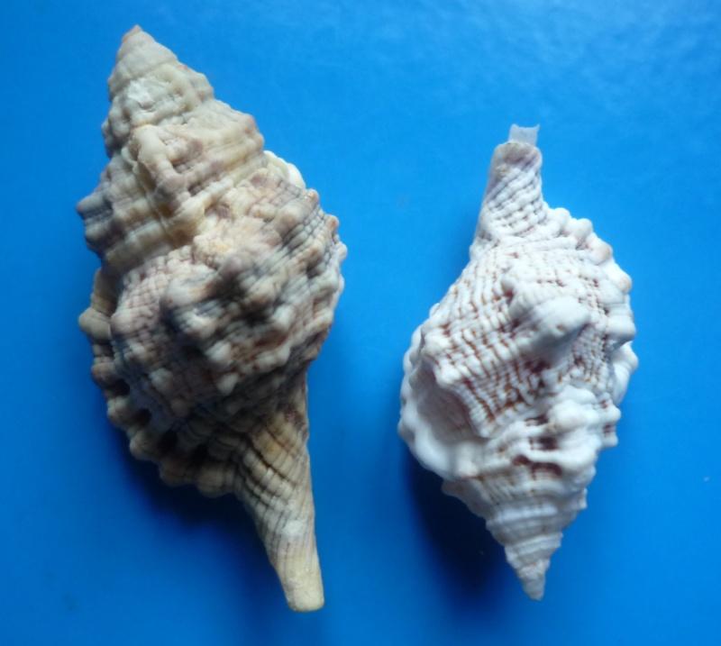 Cymatiidae Gutturnium muricinum - (Röding, 1798) Cymati65
