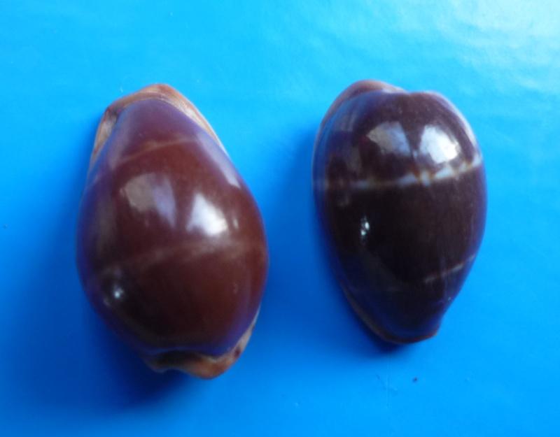 Palmadusta androyensis androyensis - Blöcher & Lorenz, 1999 Cyp_an18
