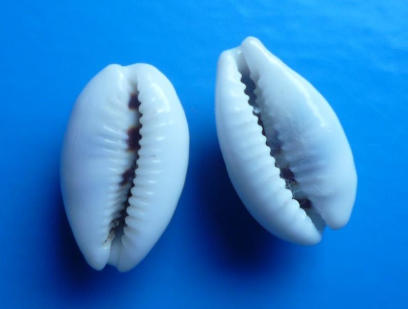 Palmadusta asellus - (Linnaeus, 1758) Cyp_as11