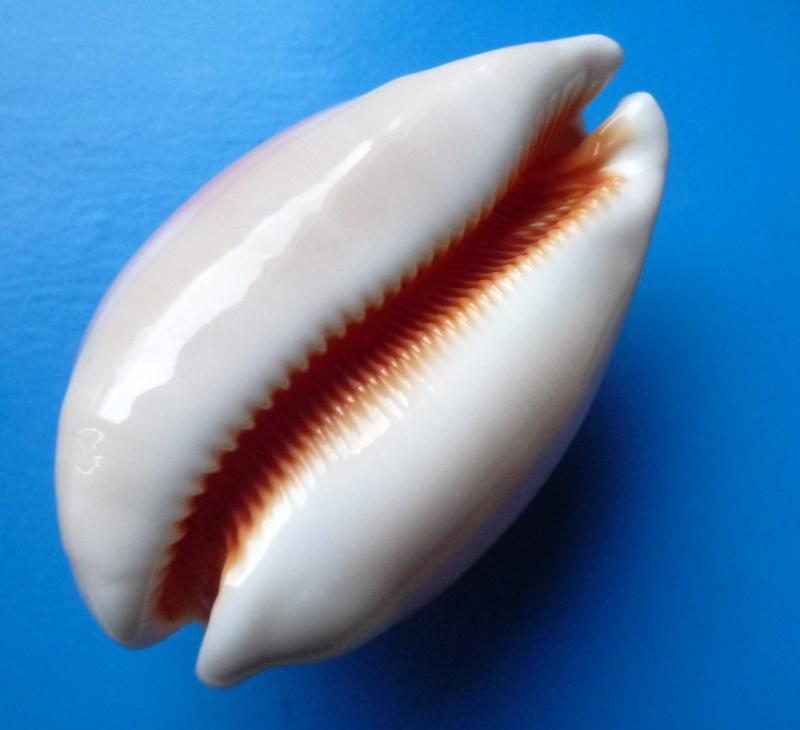 Callistocypraea aurantium - (Gmelin, 1791) Cyp_au18