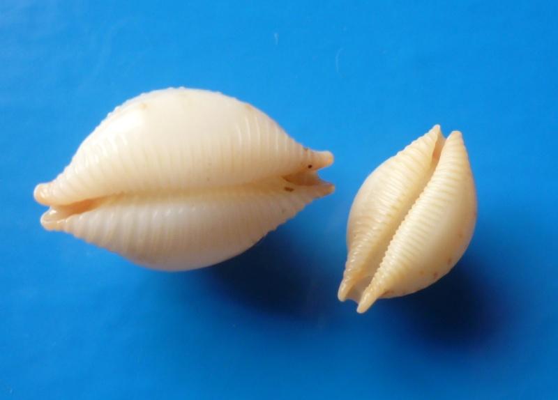 Pustularia cicercula cicercula - (Linnaeus, 1758) Cyp_ci18