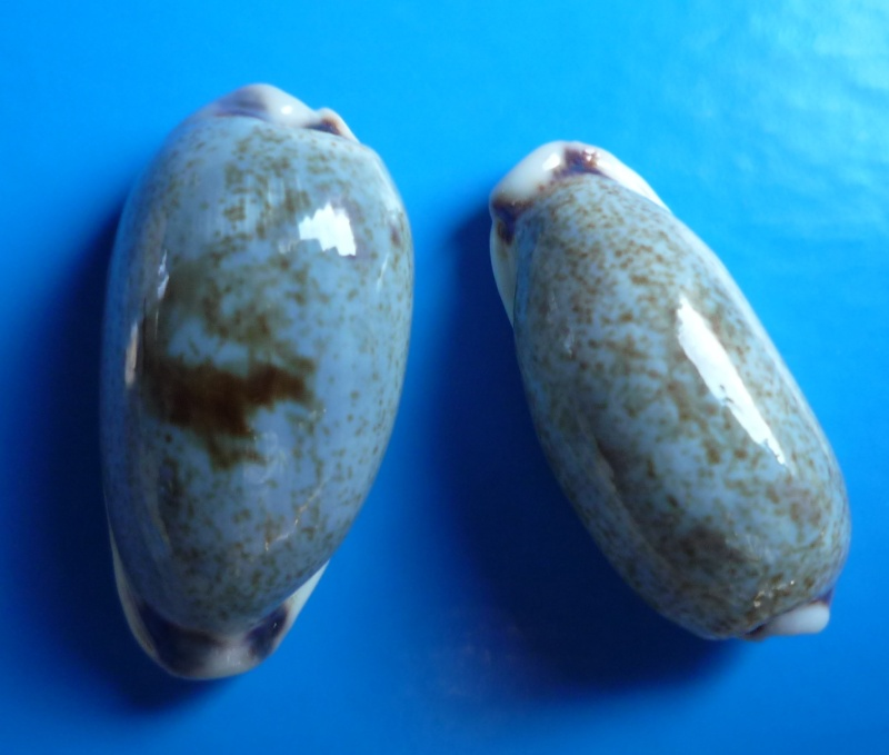Erronea cylindrica cylindrica - (Born, 1778) Cyp_cy13
