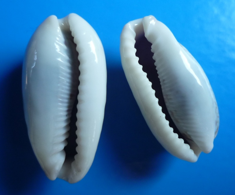 Erronea cylindrica cylindrica - (Born, 1778) Cyp_cy14