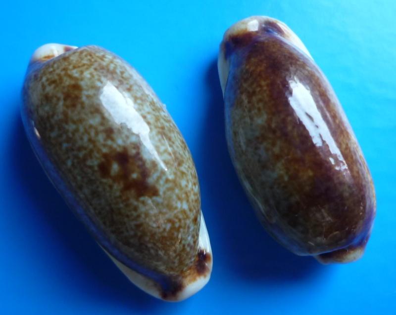 Erronea cylindrica cylindrica - (Born, 1778) Cyp_cy15