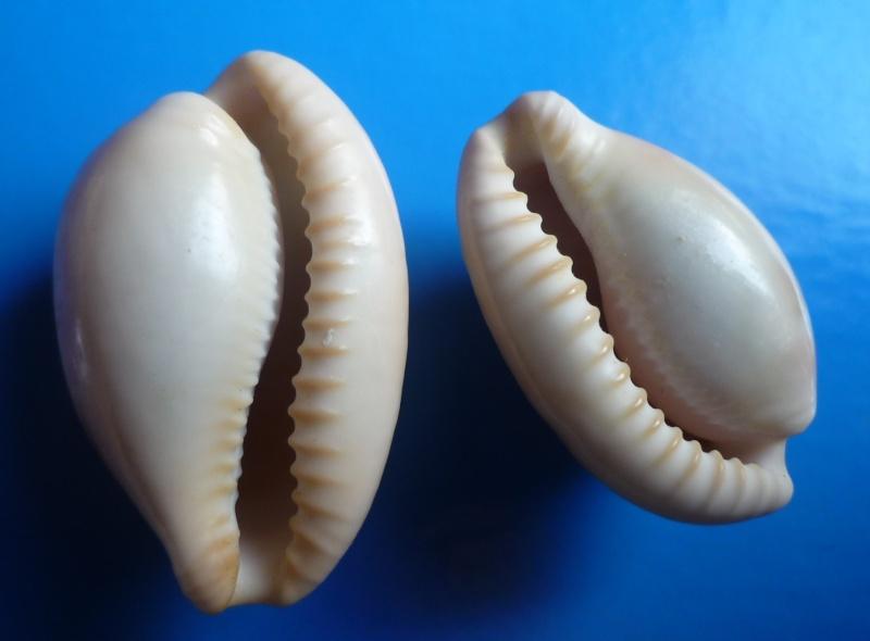 Cypraeovula fuscorubra fuscorubra - (Shaw, 1909) Cyp_fu18