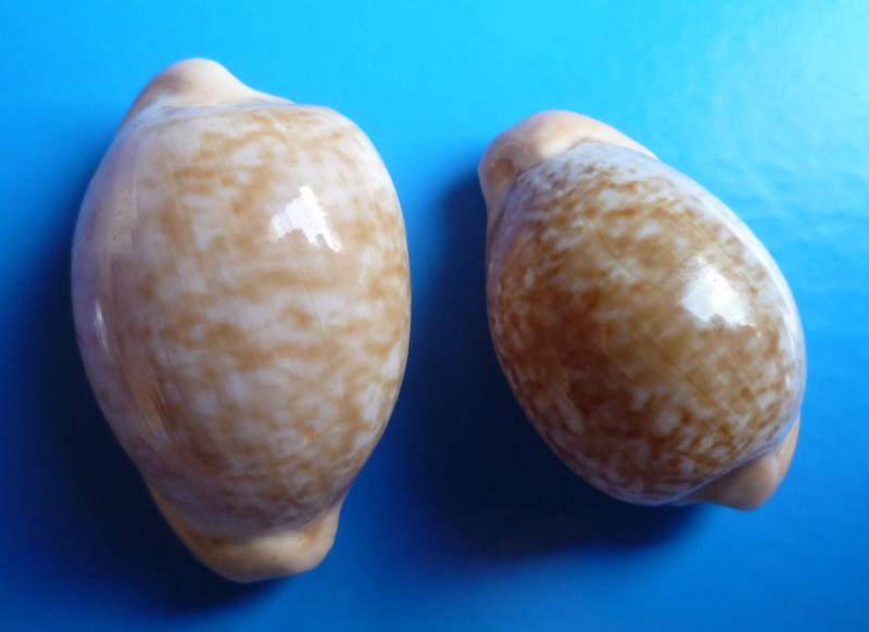 Cypraeovula fuscorubra fuscorubra - (Shaw, 1909) Cyp_fu19