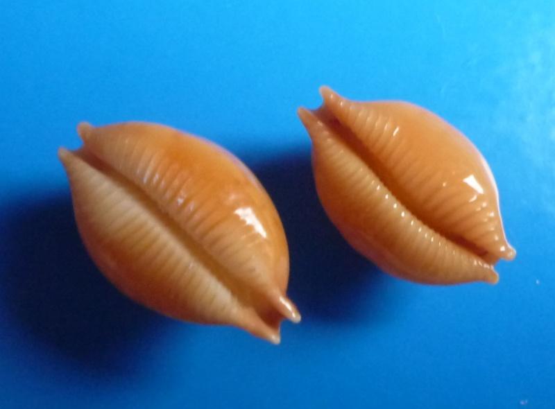 Pustularia globulus - (Linnaeus, 1758) Cyp_gl11