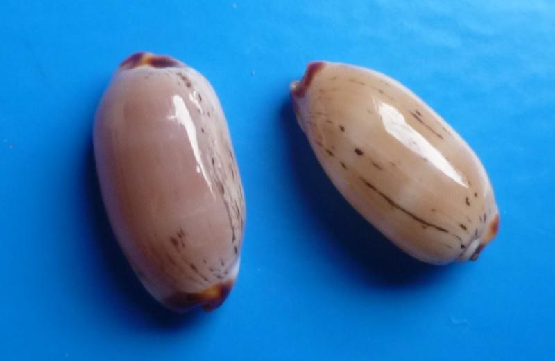 Luria isabella controversa - (Gray, 1824) voir Luria isabella (Linnaeus, 1758) Cyp_is15