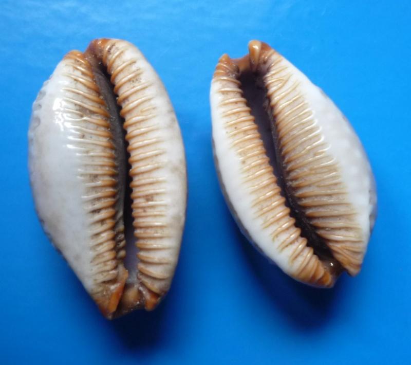 Staphylaea limacina interstincta - (Wood, 1828) Cyp_li17
