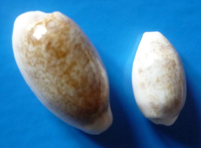 Blasicrura pallidula pallidula - (Gaskoin, 1849) Cyp_pa24
