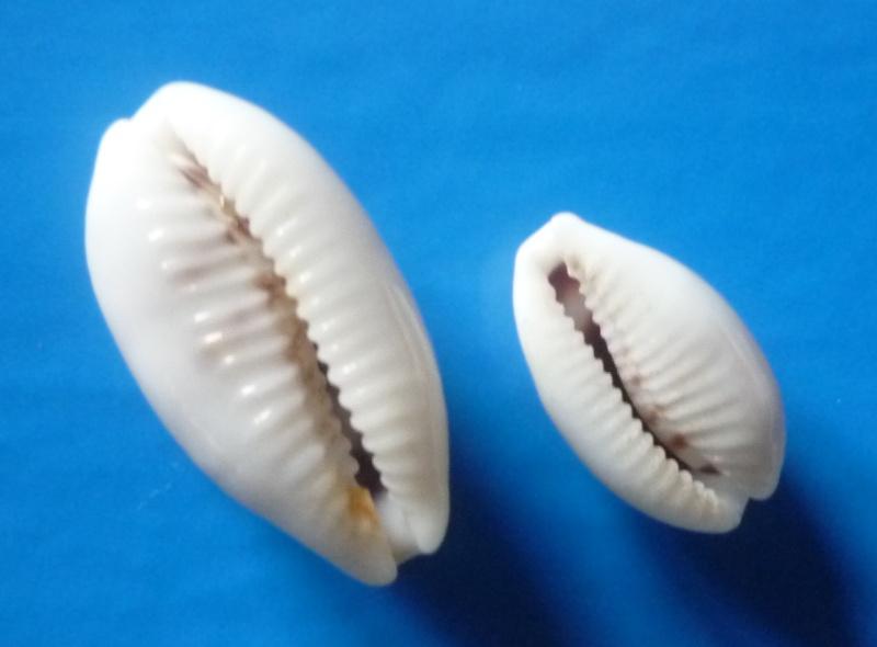 Blasicrura pallidula pallidula - (Gaskoin, 1849) Cyp_pa25