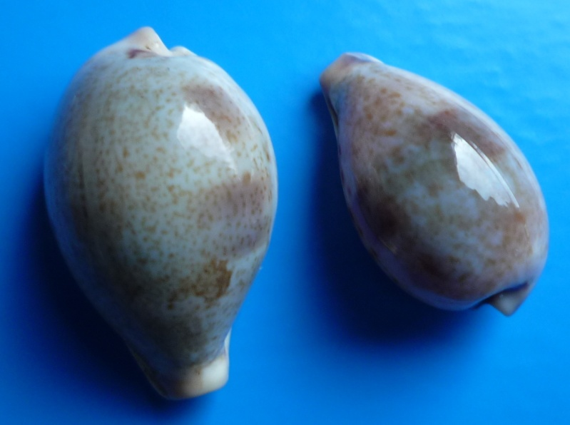 Erronea pyriformis smithi - (Sowerby, 1881) Cyp_py27