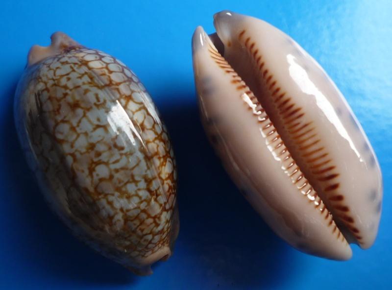 Mauritia scurra scurra - (Gmelin, 1791)  Cyp_sc10
