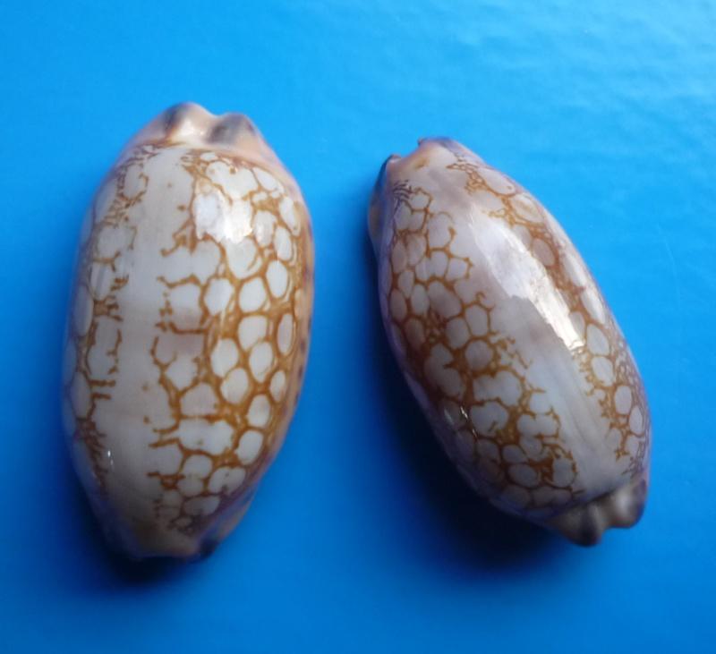 Mauritia scurra mundula - Lorenz, 2002  voir  Mauritia scurra scurra - (Gmelin, 1791) Cyp_sc17