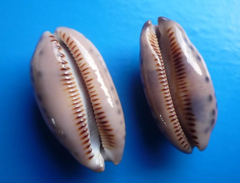 Mauritia scurra mundula - Lorenz, 2002  voir  Mauritia scurra scurra - (Gmelin, 1791) Cyp_sc18