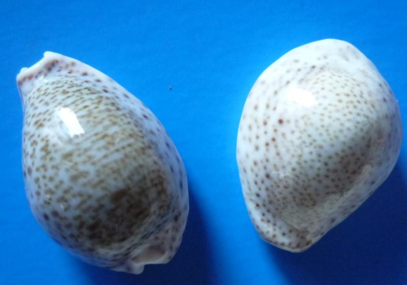 Naria turdus - (Lamarck, 1810) Cyp_tu17