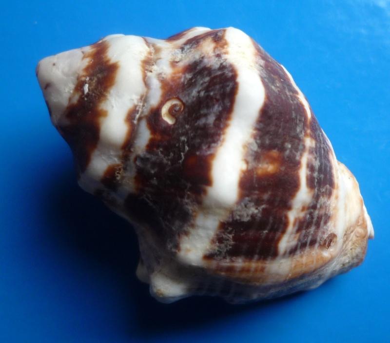 Vasula deltoidea - (Lamarck, 1822) Deltoi15