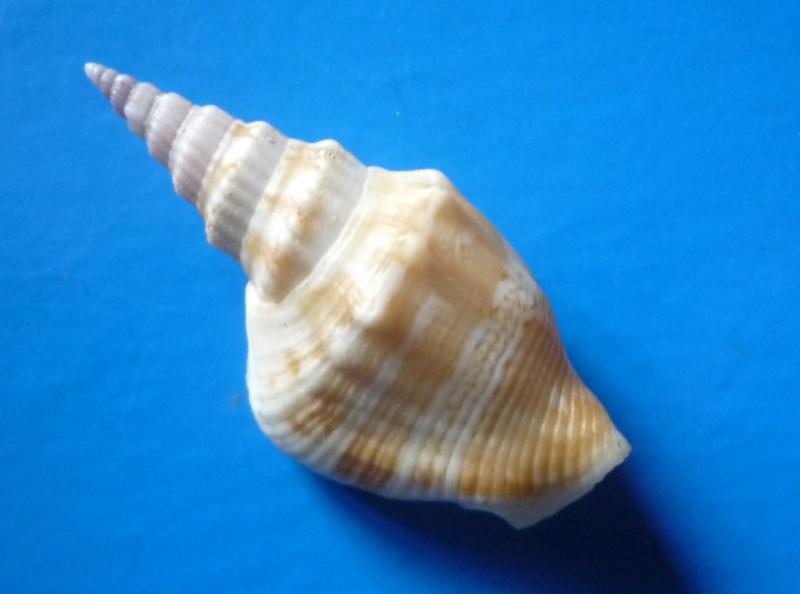 Dolomena plicata - (Röding, 1798) Dolome12