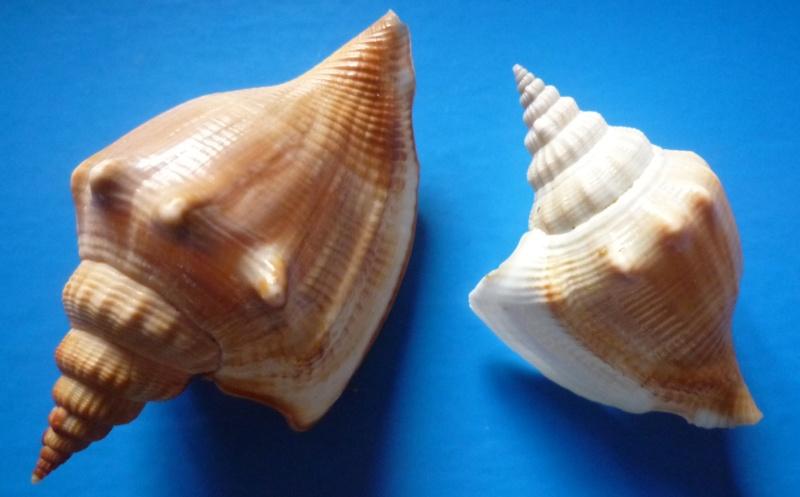 Dolomena labiosa - (Wood, 1828) Dolome28
