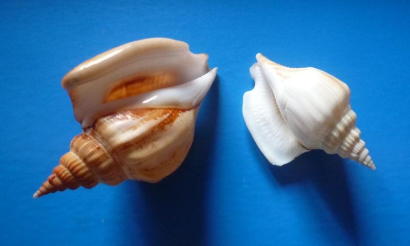 Dolomena labiosa - (Wood, 1828) Dolome29