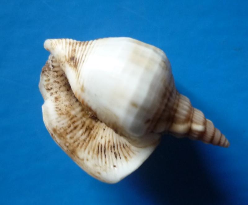 Dolomena plicata sibbaldi - (G. B. Sowerby II, 1842) Dolome34