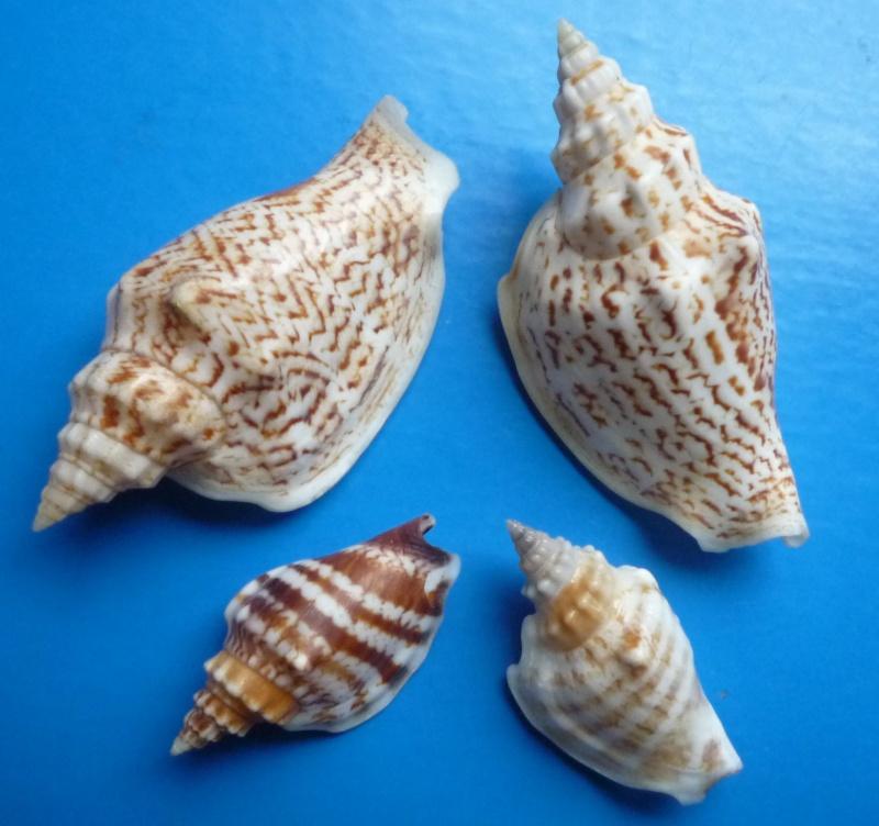 Dolomena variabilis - (Swainson, 1820) Dolome44