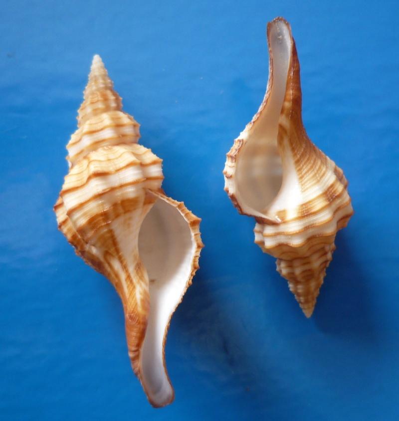 Granulifusus dondani - M. A. Snyder, 2003  Dondan11