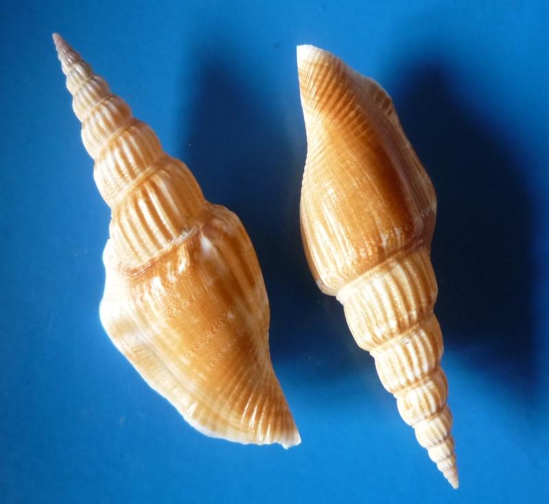 Doxander vittatus apicatus - (Man in 't Veld & Visser, 1993) voir Doxander vittatus (Man in 't Veld & Visser, 1993) Doxand13