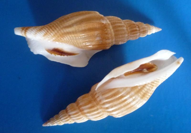 Doxander vittatus apicatus - (Man in 't Veld & Visser, 1993) voir Doxander vittatus (Man in 't Veld & Visser, 1993) Doxand14