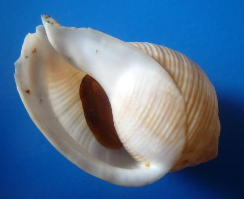 Galeodea rugosa - (Linnaeus, 1771) Echino11