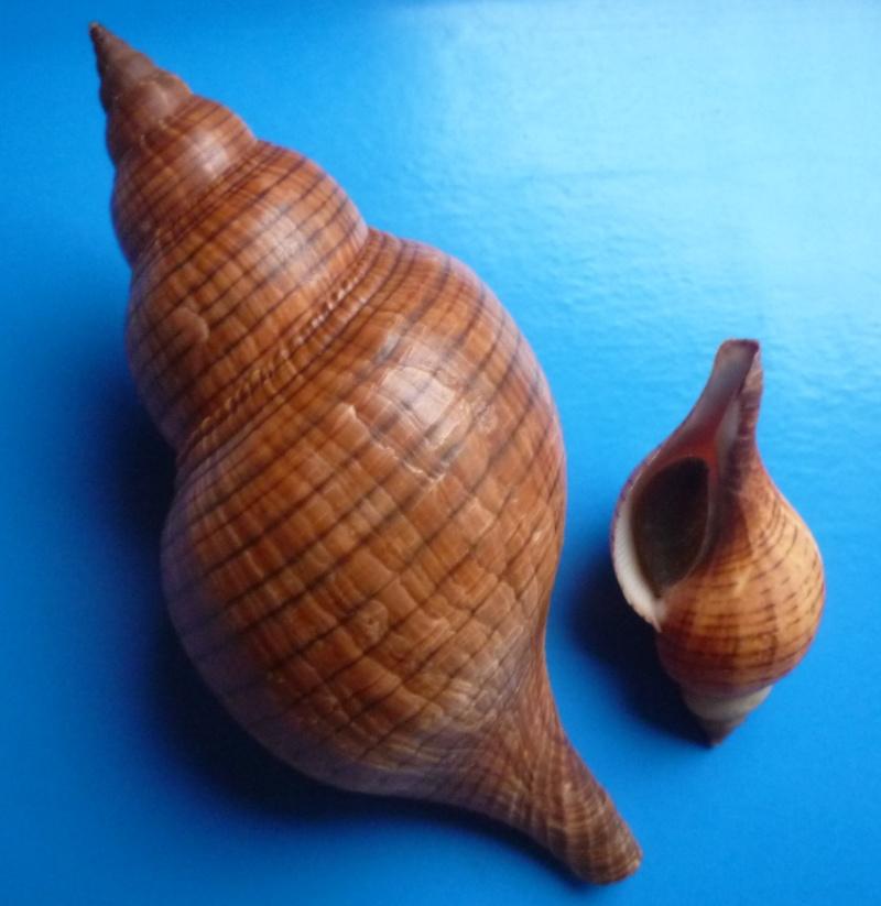 Fasciolaria tulipa - (Linnaeus, 1758) Fascio10