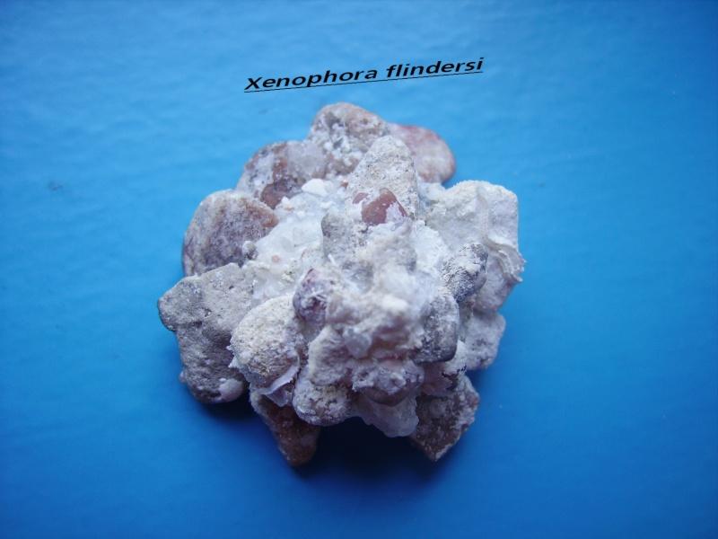 Xenophora flindersi - (Cotton & Godfrey, 1938) Flinde10