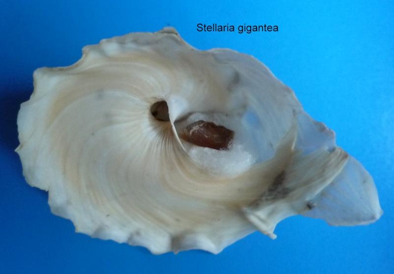 Stellaria gigantea - (Schepman, 1909) Gigant11