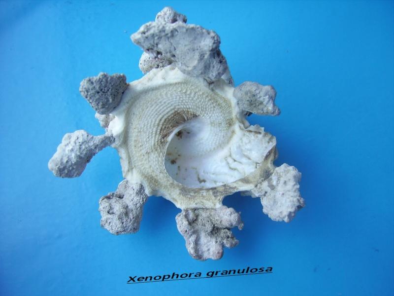 Xenophora granulosa - Ponder, 1983  Granul11
