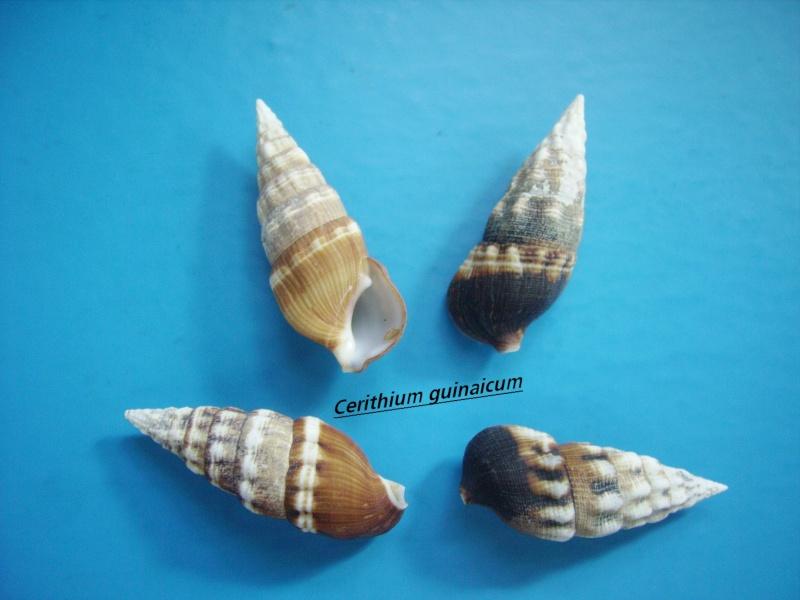 Cerithium guinaicum - Philippi, 1849  Guinai10