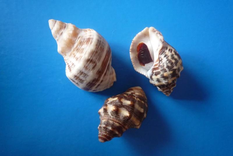 Stramonita floridana - (Conrad, 1837) Haemas10