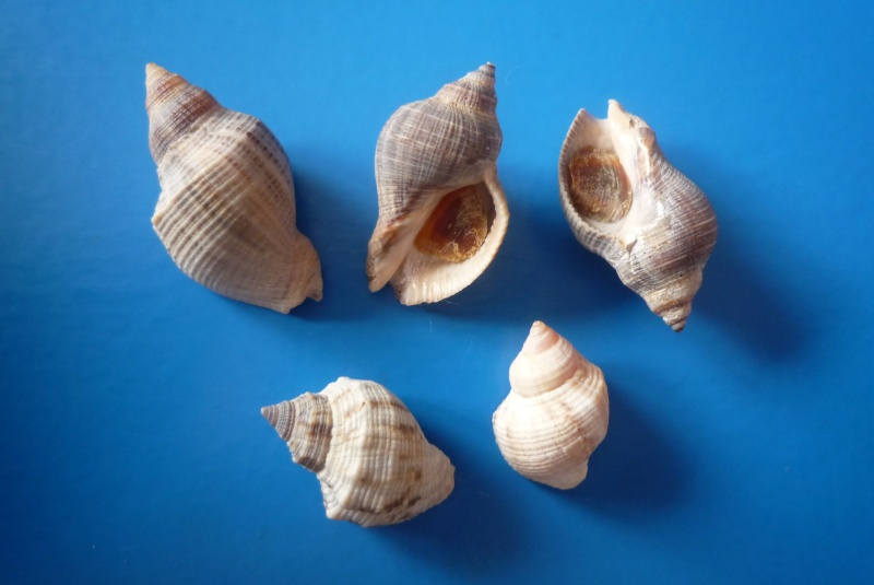 Stramonita floridana - (Conrad, 1837) Haemas11