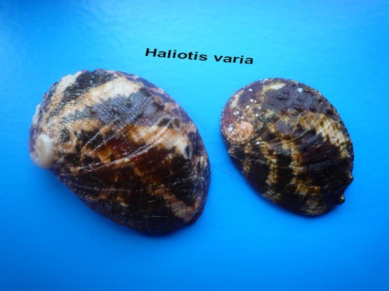 Haliotis varia  -  Linnaeus, 1758 Haliot20