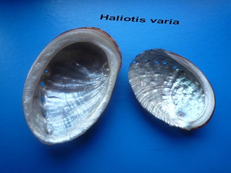 Haliotis varia  -  Linnaeus, 1758 Haliot21