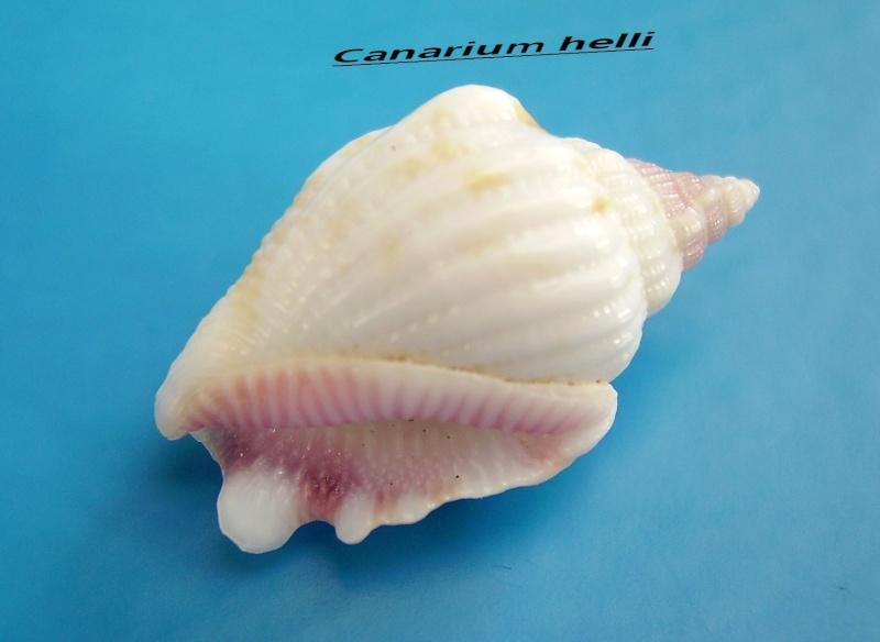 Canarium hellii - (Kiener, 1843) Helli_10