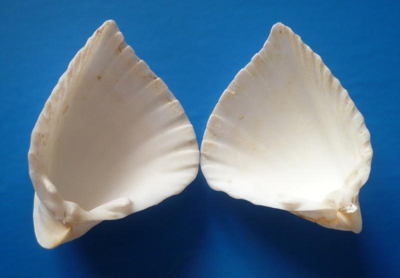 Lunulicardia hemicardium - (Linnaeus, 1758)  Hemica12