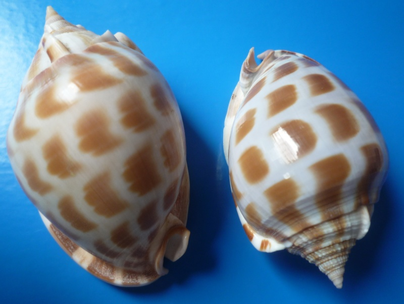 Phalium areola - (Linnaeus, 1758) L_areo10