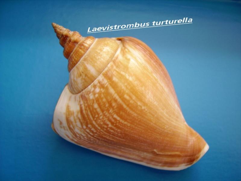Laevistrombus turturella - (Röding, 1798) Leavis14